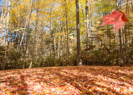 red maple leaf: Autumn leaves lie thick on forest floor while a red maple leaf, blurred in motion, floats to the ground. Stock Photo