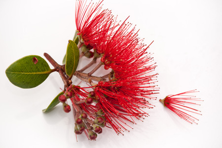 Pohutukawa flower closeup in top right isolated on white Stock Photo