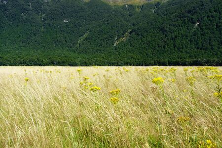 interspersed: Golden grass interspersed with yellow ragwort flower swaying in a valley breeze contrasts with deep green New zealand bush on distant slope Stock Photo