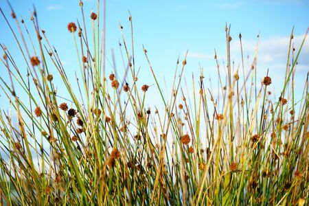 Reeds and seedheads shallow depth of field growning near foreshore, closeup against sky. Stock Photo