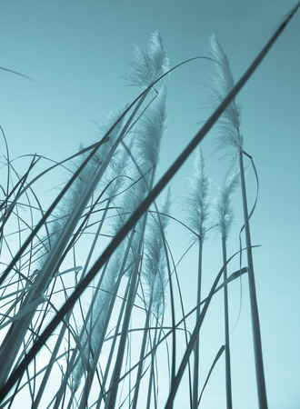 filtered: Filtered pampas grass looking up into sky.