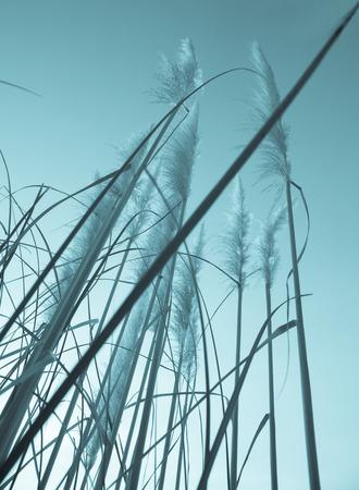 filtered: Filtrado hierba de pampas mirando hacia el cielo.