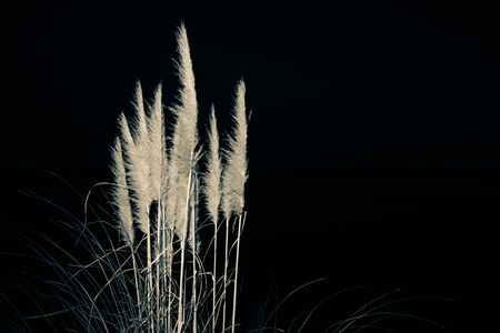 pampas: Pampas against black background, at night. Stock Photo