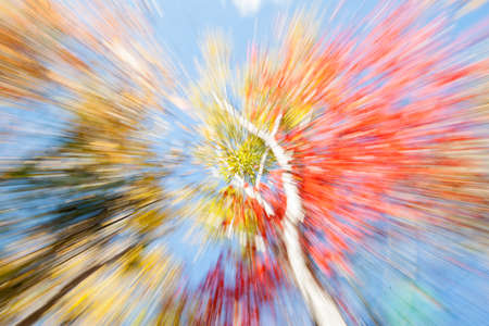 vibrancy: Birch trees in fall, Maine, Vibrant nature abstract, zoom blur, Stock Photo