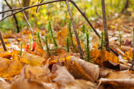 ground cover: Forest floor closeup, tiny new growth break through the deep golden leaf ground cover. Stock Photo