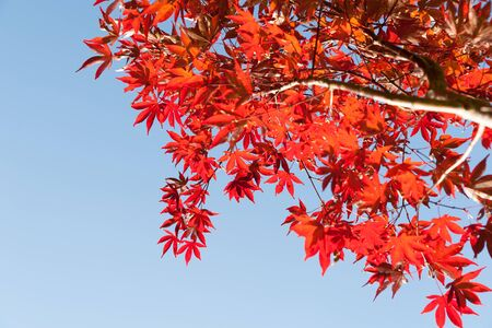 coloration: Japanese maple leaves bright red autumn coloration against blue sky Stock Photo
