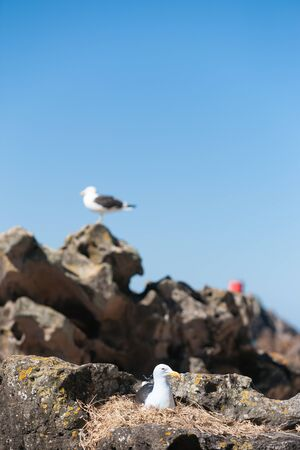 looking after: Southern Blackbacked Gull, nesting amongst rocks looking after the next generation. Stock Photo