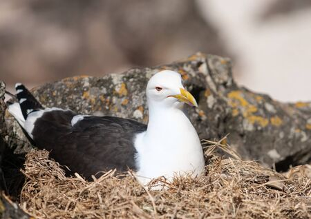 looking after: Southern Black backed Gull, nesting amongst rocks looking after the next generation.