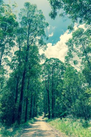 eucalyptus trees: Narrow dirt road leading through eucalyptus trees vintage style image in Gibraltar Range National Park New Southa Wales, Australia.