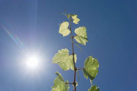 sun flare: Grape vine growing against blue sky and sun flare high in sky Stock Photo