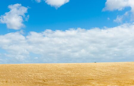 wind blown: Rural land with golden barley crop ready for harvest  bent and moving iin high wind under white cumulus clouds and blue sky in Manawatu Wanganui near Bulls New Zealand