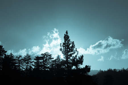 ponderosa pine: Backlit forest blue tone silhouette as setting sun catches on passing clouds lighting the sky above