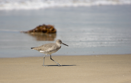 shorebird: Willett wading shorebird on beach