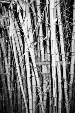 clump: Bamboo growing in clump in monochrome with vignette