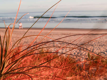 golden glow: Early morning golden glow at papamoa beach Mount Maunganui New Zealand focus on grass blades.
