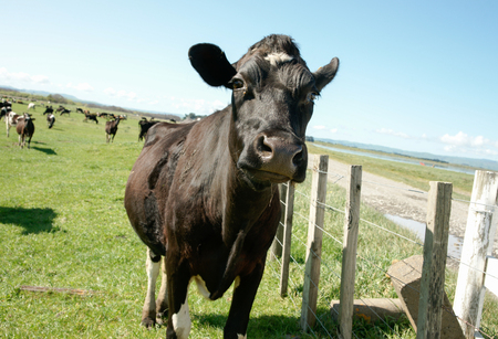 holstein cow: Black Holstein cow standing close with herd in background on New Zealand farm