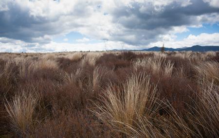 desert road: Desert Road tussock golden and bend in wind. Stock Photo