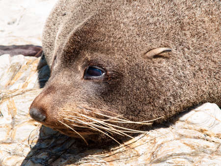 tora: Closeup head shot New Zealand Fur seal basking in warmth on rocky coastline ledge.