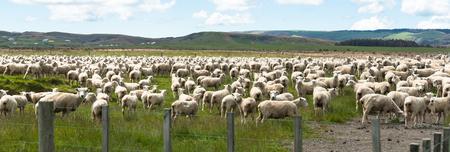 ewes: Flock of sheep  New Zealand. Stock Photo