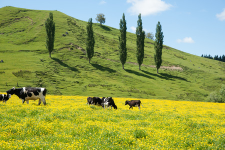 Hereford cattle grazing a field of yellow buttercup in front of green hills.