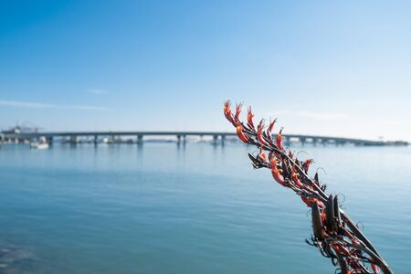 new zealand flax: Red flowering flax with de-focused Tauranga Harbor and Bridge beyond.