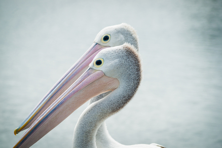 Australian pelican pair together facing same direction. Stock Photo