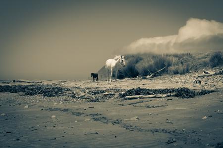 the east coast: Old style image reflecting the isolation of the region two horses one white one black roam along East Coast beach near Te Araroa New Zealand