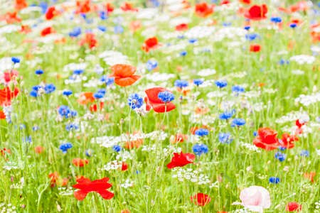 Field red blue and whit flowers amongst green