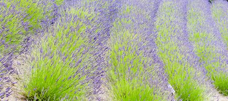 luxuriant: Rows of green and purple lavender plants in luxuriant growth Stock Photo