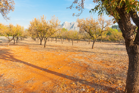 yellowing: Almond grove after harvest with leaves yellowing in the red stoney  soil in the area of  Parcent, Spain