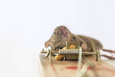 trapped: Mouse caught in trap