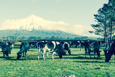 Faded retro effect rural image black and white dairy cattle in field Mount Egmont backkground Stock Photo