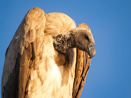 White backed vulture in tree looking down against blue sky, South Africa