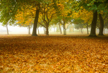Golden oak tree leaves cover ground under grove of tree shrouded in morning mist with diminishing visibility