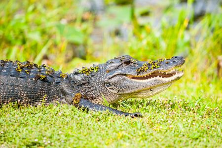 Wild alligator with swamp vegetation still on its back after comig out of pond by Florida everglades. Stock Photo
