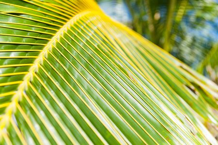 Vivid green and yellow of coconut palm frond closeup.