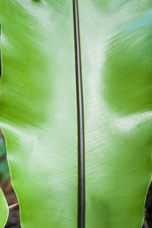 niue: Glossy green frond divided by black stripe of spine luka plant, fern in Niue