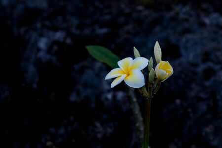 Delicate white and yellow frangipani flower moist with morning dew against grey coral stone background. Stock Photo