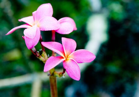 niue: Small delicate pink frangipani flower covered in moisture of morning dew..