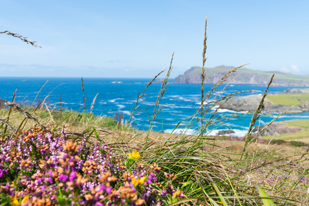 Focus on dry grass blowing in wind in foreground of rugged west Irish coast along Wild Atlantic Way bays and headlands beyond green fields.