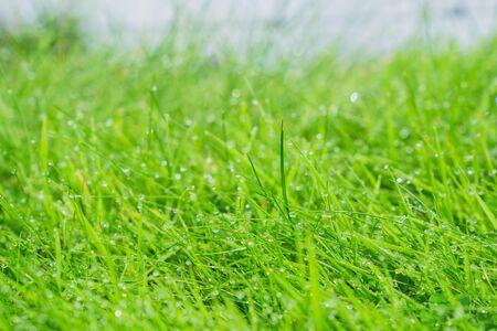 Wet grass closeup with lush green selective focus farm land. Stock Photo