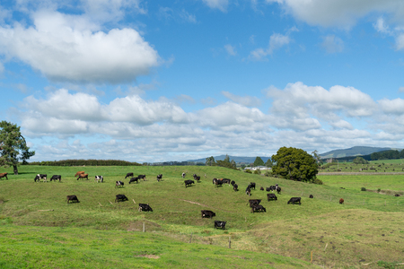 New Zealand dairy farm landscape and cattle Stock Photo