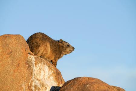 Dassie on rocks a late afternoon sun Stok Fotoğraf