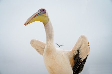Great white pelican perched with wings lifted ready to fly.