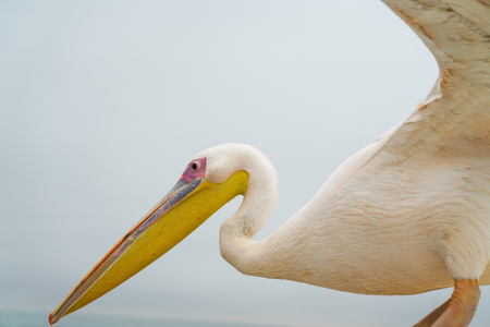 Great white pelican close-up perched with wings lifted ready to fly.