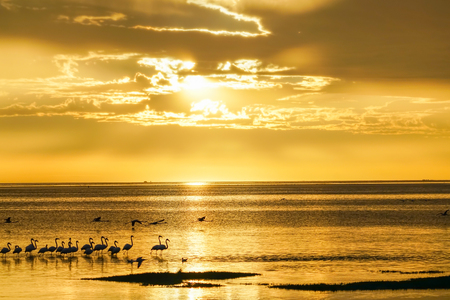 Flamingo silhouetted on waters edge in golden glow sunset at Swakopmund, Namibia