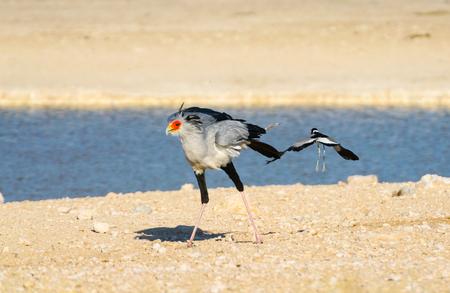 Secretary bird (Sagittarius serpentarius), walking by waterhole with blacksmith plover flying away, Etosha National Park, Namibia.