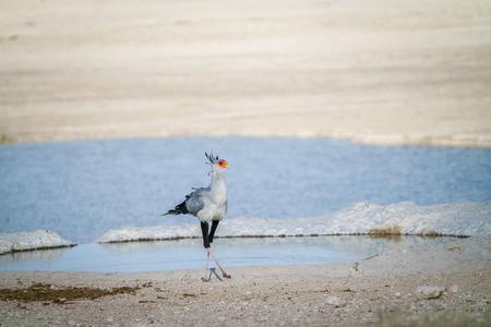 Secretary bird (Sagittarius serpentarius), crosslegged by waterhole, Etosha National Park, Namibia.
