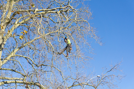 TAURANGA, NEW ZEALAND - 2 JULY 2018; Arborist high in leafless London Plane tree supported by safety ropes trimming branches. Éditoriale