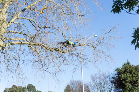 TAURANGA, NEW ZEALAND - 2 JULY 2018; Arborist hanging horizontal high in leafless London Plane tree supported by safety ropes trimming branches.